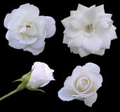 Phases of the Rose. The different stages of a roses flower Stock Photos