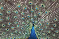 phasianidae ουρά pavo cristatus αρσενική Στοκ Φωτογραφίες