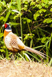 Phasianus colchicus - pheasant Royalty Free Stock Photo