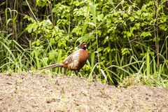 Phasianus colchicus - pheasant Royalty Free Stock Photography