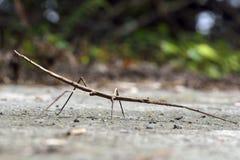 Phasmatodea, στην Ταϊβάν Στοκ Εικόνες