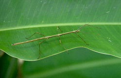 Phasmatodea. Close up of phasmatodea in Siquijor Island, Philippines Royalty Free Stock Images