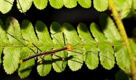 Phasmatodea on fern Royalty Free Stock Photography
