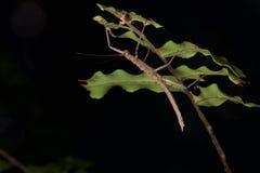 Phasmid in Papua-Neu-Guinea Stockfotografie