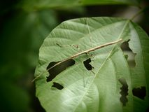 Phasmida, Sprinkhaan was gegeten groen blad in Baan grang, royalty-vrije stock afbeelding
