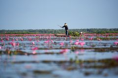 A fisherman on longtail boat and scene of pink lotus royalty free stock images