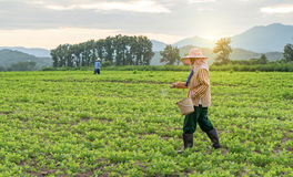 Phayao on October 21, 2015. Farmer is working on a potato field with dramatic sky. Royalty Free Stock Image
