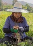 Phayao, Tahiland - 2019-03-09 - Frau erntet Rettiche stockfotografie