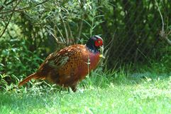 Pheasant. Phasianus colchicus Royalty Free Stock Photography
