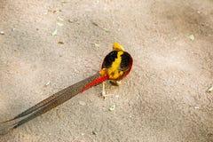 pheasant Fotografering för Bildbyråer