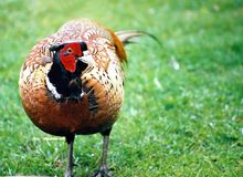 Pheasant. Close-up of a pheasant Royalty Free Stock Image