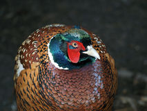 A pheasant Stock Photos
