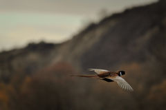 Pheasant. Photo of a male pheasant flying Royalty Free Stock Images