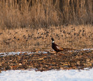pheasant Royaltyfria Foton