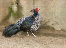 Pheasant.  Royalty Free Stock Photography