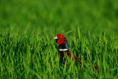 Pheasant Stock Photos