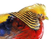 """The pheasant. Bright colored pheasant sat in the zoo """"fairy tale"""" in Yalta in the Crimea. Me drew motley [okras] of feathers and imperturbability. This small Stock Images"""