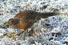 Pheasant. A female pheasant walking on grass with ripe Stock Images