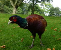 pheasant Royaltyfria Bilder