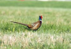 Pheasant. Phasianus colchicus - Pheasant - Czech republic Stock Photo