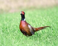 Pheasant. Royalty Free Stock Photography