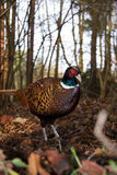 Pheasant. On the forest floor Stock Photo