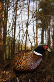 Pheasant. On the forest floor Stock Image