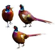 pheasant Royaltyfri Bild