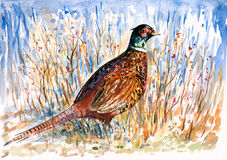 Pheasant. Stock Images