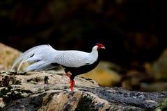 pheasant Arkivbild