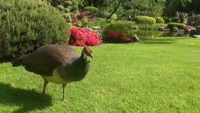 pheasant Royaltyfri Foto