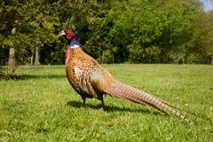 Pheasant. A pheasant walking on grass Royalty Free Stock Image