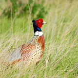 Pheasant Stock Photos