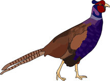 Pheasant. Vector - color pheasant isolated on background Royalty Free Stock Image