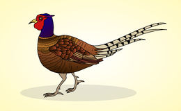 Pheasant. Aviculture and poultry. Royalty Free Stock Photography
