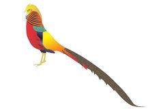 Pheasant. Beautiful colorful wild pheasant on white background Stock Images