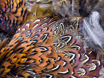 Pheasant 005. Beautiful feathers of pheasant bird Stock Images