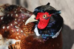 Pheasant Bird Royalty Free Stock Image