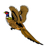 Pheasant bird flying up. Vector Illustration of a Pheasant bird flying up Stock Images