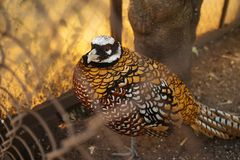 Pheasant in the cage. Closeup photo royalty free stock photography
