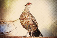 Pheasant at the cage Stock Images