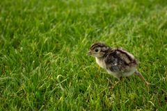 Pheasant chick in green grass. Agriculture summer. Pheasant chick in green grass, Agriculture royalty free stock photography