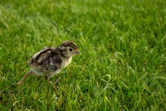 Pheasant chick in green grass. Agriculture summer royalty free stock photo