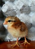 Pheasant chick. A Pheasant chic, litter chicken royalty free stock photography