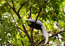 Pheasant chicken on tree Royalty Free Stock Images