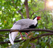 Pheasant chicken on tree Stock Photos