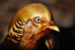 Pheasant Stock Image