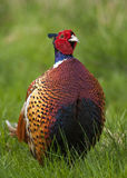 Pheasant (Cock) Stock Photo