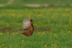 Pheasant cock at courtship display, spring. Pheasant cock courtship display on the flower meadow, spring, phasianus colchicus Royalty Free Stock Photos
