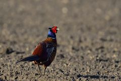 Pheasant cock on the field, spring. Phasianus colchicus Royalty Free Stock Photography